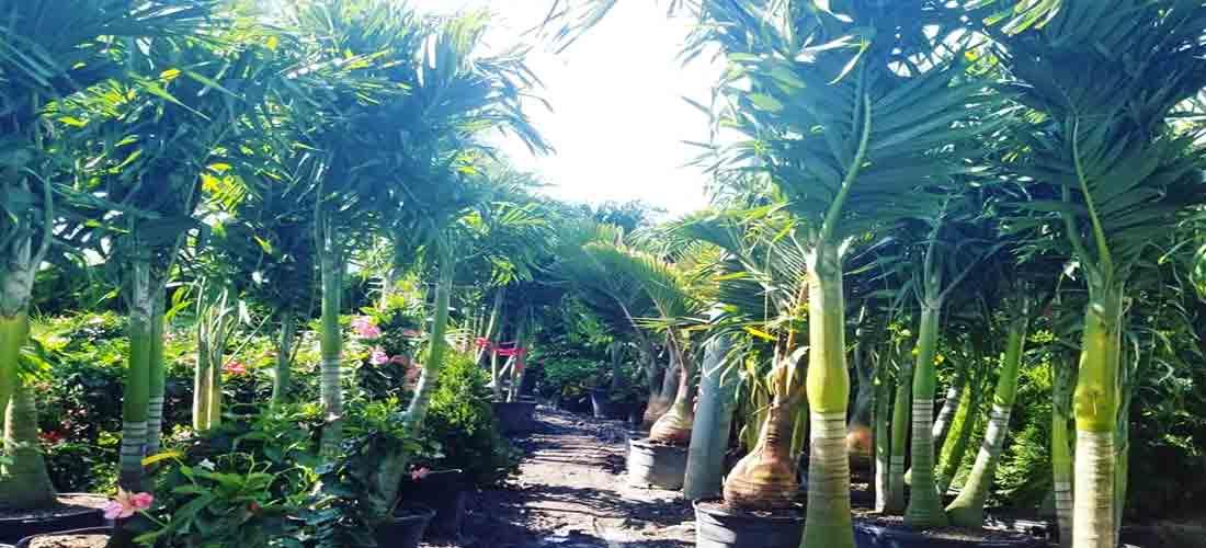 palm tree tropical