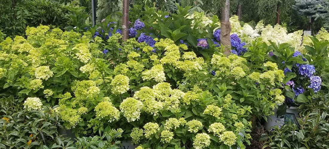 hydrandreas house plant