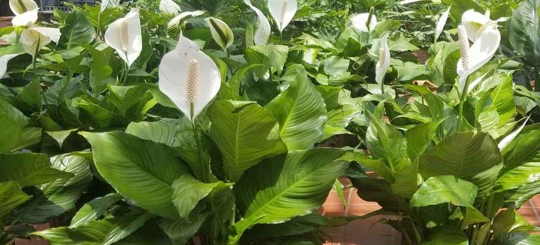 Lily Flowers House Plant
